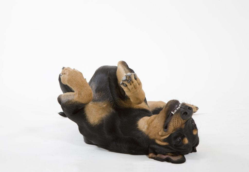 Doberman (Canis lupus familiaris) rolling on back