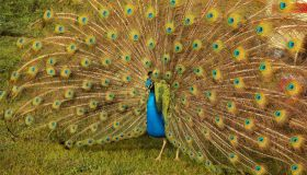 Peacock With Fanned Out Feather On Grassy Field