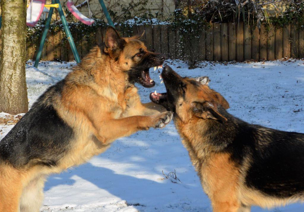 Dogs Fighting On Snowy Field