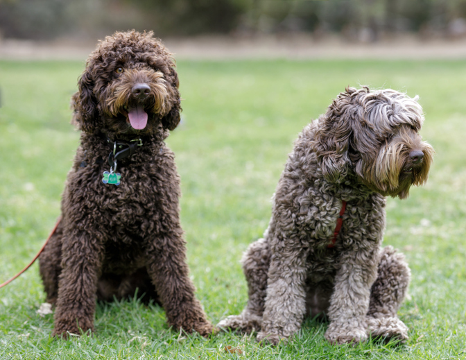 Chocolate Male And Cafe Female Labradoodles