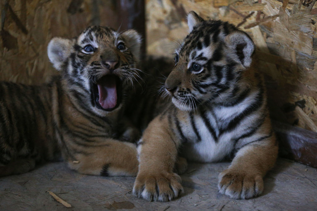 Bengal tiger cubs in Istanbul's Lion Park