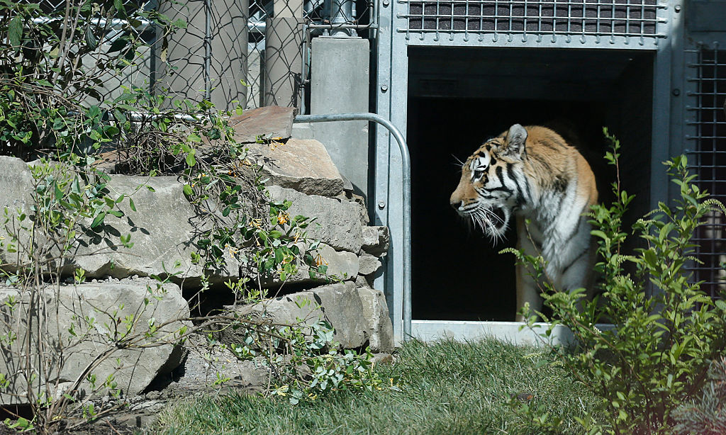 Face to face with a tiger, Cleveland Zoo opens new exhibit